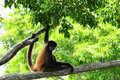 Monkey Sitting On A Tree Branch Stock Images - 19332864
