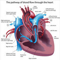 Pathway Of Blood Flow Through The Heart Stock Image - 19337291