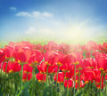 Red Tulip Field Royalty Free Stock Photography - 19347157