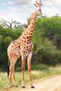 Giraffe Stock Photo - 19383840