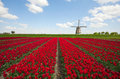 Tulips And Windmill Stock Photography - 19396142