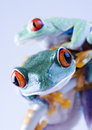 Frogs Royalty Free Stock Photos - 1946388