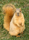 Cute Squirrel Standing Royalty Free Stock Images - 1947299