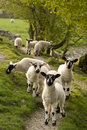 Spring Lambs Royalty Free Stock Photography - 19401277