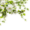Apple Blossom Over White Royalty Free Stock Images - 19403769