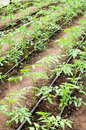 Young Tomato Plants Stock Image - 19442121