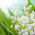 Lily Of The Valley Royalty Free Stock Photos - 19454158