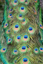 Peacock Feather Royalty Free Stock Images - 19454769
