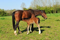 Young Foal Royalty Free Stock Image - 19489276