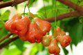 Rose Apple Stock Photography - 19493392