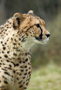 Beautiful Cheetah Stock Photo - 1957640