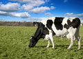 Cow In Pasture Royalty Free Stock Image - 1958246
