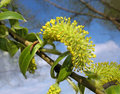 Yellow Catkin Of Willow Against Blue Sky Royalty Free Stock Photography - 19501137