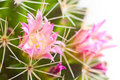 Cactus Flower Stock Photography - 19517372