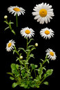 Daisies On The Black Background Royalty Free Stock Image - 19566296