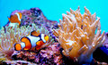 Clown Fish In Anemone Royalty Free Stock Photography - 19581777