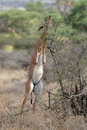 Gerenuk Royalty Free Stock Photography - 1962757