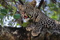 Leopard Stock Photography - 1962842