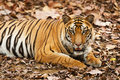 Large Male Bengal Tiger Royalty Free Stock Images - 19602179