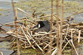 American Coot. Stock Photography - 19605672