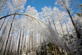 Bent Birch Tree Snow Wrapped Royalty Free Stock Image - 19607246