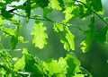 Oak Leaves Royalty Free Stock Images - 19617379