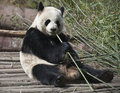 Giant Panda Royalty Free Stock Photo - 19642755
