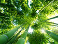 Bamboo Forest Royalty Free Stock Photo - 19655765