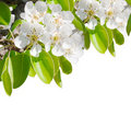Blossoming Branch Of A Pear Tree Royalty Free Stock Image - 19659236