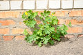 The Green Plant Growing On The Asphalt Against Bri Royalty Free Stock Photography - 19683867