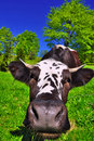 Cow On A Summer Pasture Royalty Free Stock Photos - 19698118