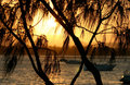 Casuarina Against The Sun Stock Image - 1971731