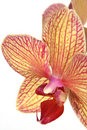 Striped Orchid Flower Stock Image - 1973311