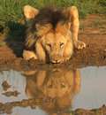 Male Lion Stock Images - 19714304