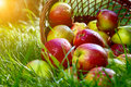 Apples In The Basket. Royalty Free Stock Images - 19732269