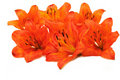 Tiger Lily Flowers Royalty Free Stock Photography - 19759057