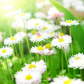 Daisies Stock Photography - 19793462