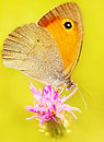 Beautiful Yellow Butterfly Royalty Free Stock Image - 19798496