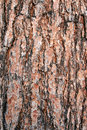 Texture Pine Tree Bark Royalty Free Stock Photography - 1981557