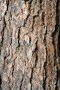 Texture Pine Tree Bark Stock Image - 1981561