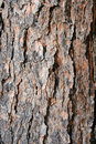 Texture Pine Tree Bark Royalty Free Stock Photo - 1981565
