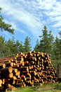 Stack Of Cut Pine Timber In Summer Forest Royalty Free Stock Image - 19809586