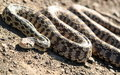 Bull Snake Royalty Free Stock Photo - 19816345
