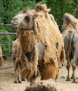 Camel Royalty Free Stock Image - 19823866