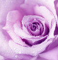 Purple Wet Rose Background Royalty Free Stock Photo - 19841055