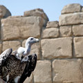 Vulture Stock Photography - 19841342