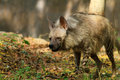 Hungry Hyena Stock Images - 19844294