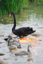 Swan Family Stock Photography - 19848312