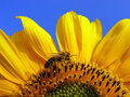 Sunflower And Bee Stock Image - 19880121