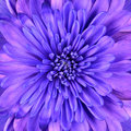 Blue Chrysanthemum Flower Head Closeup Detail Royalty Free Stock Photography - 19889477